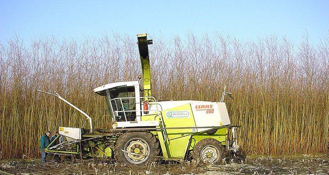 Kurzumtriebsplantage: das Holz wird gehäckselt und als Brennstoff für Heizungen verwendet. Die Ernte erfolgt meist einmal jährlich. Foto: Lamiot / Wikimedia / Lizenz unter CC BY-SA 3.0
